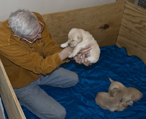 golden retriever puppy sleeping. golden retriever puppies