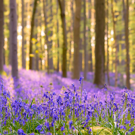 Blue bells world, Hallerbos, Belgium by Siniša Ciglenečki - Flowers Flowers in the Wild ( flowers, forest, springtime, blue magic, nature, woods, halle, trees, bluebells, afternoon, hallerbos, spring, outdoors, carpet, halle forest, hyacinth, travel, evening, belgium, europe, wild, wildlife )