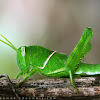 Hort winged green grasshopper
