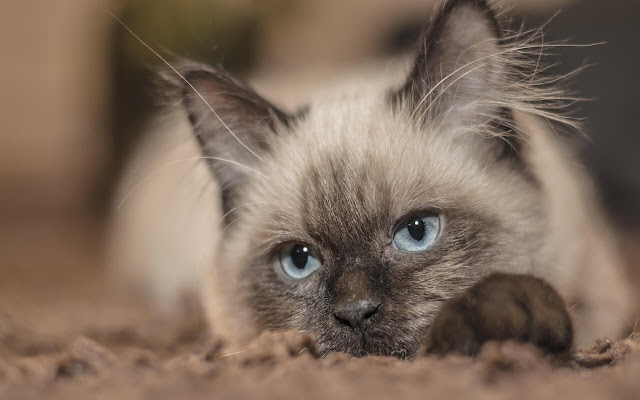 Siamese - New Tab in HD