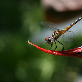 Dragon Fly by Michael Ahrens - Nature Up Close Other Natural Objects