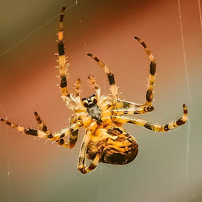 Spider Webbing by Steve Fisher - Animals Insects & Spiders ( outdoors, 2016, insect;, web, spider, yard bugs )