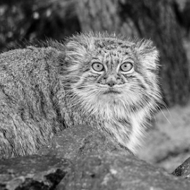 Pallas by Garry Chisholm - Black & White Animals ( nature, mammal, big cat sanctuary, garry, cat, pallas, smarden )