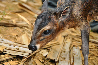 Photo: small antelope - duiker