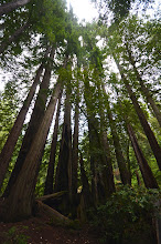 Photo: 11. Big Basin Redwoods State Park has 80 miles of trails - it is quite the treasure for Bay area residents to have so close to home ... I'm envious! I only allowed myself about two hours to be in the park, so I focused mainly on the short loop walk, Redwood Trail, which takes off from the visitor center. I had done much longer walks a year ago ... But even just a few moments of walking among such giant trees (the tallest on earth) is akin to a spiritual experience. ... Unfortunately, there's no way that mere pictures can capture what it's like.