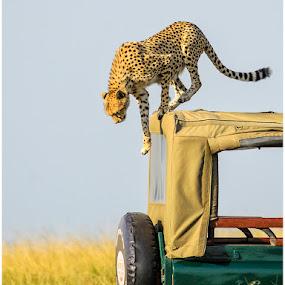 Getting off by Giancarlo Bisone - Animals Lions, Tigers & Big Cats ( cheetah, safari, kenya, africa )