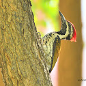 Black-rumped flameback woodpecker / மரங்கொத்தி