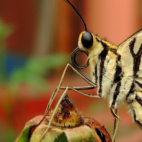common lime butterfly by  Priyanka Das - Animals Insects & Spiders ( butterfy, animal,  )
