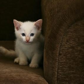 by Nora Richards - Uncategorized All Uncategorized ( kitten, cat, cute kitten, flame point siamese )