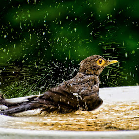 Bare Eyed Thrush Shower by Edison Pargass - Animals Birds ( bird, trinidad, shower )