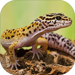 download Gecko Sounds apk
