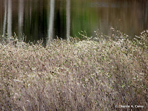 Photo: Leatherleaf in bloom