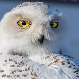 Snowy Owl by Robert George - Animals Birds (  )