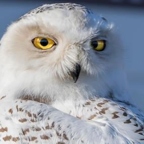 Snowy Owl by Robert George - Animals Birds (  )
