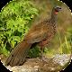 Download Canto do jacuaçu For PC Windows and Mac 1.0