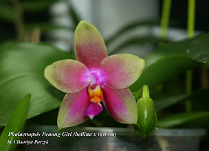 Photo: Phal. Penang Girl (bellina x venosa)