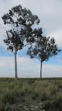 Photo: Dos eucaliptos Arbolitos - Alto Selva Alegre 04-Marzo-2013