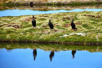 Photo: cormoranes en el bofedal