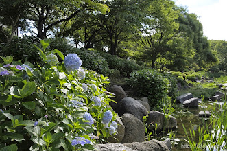 Photo: 本格的なあじさい園になっている。(2014,06,01)