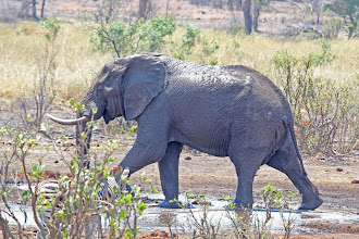 Photo: African Elephant