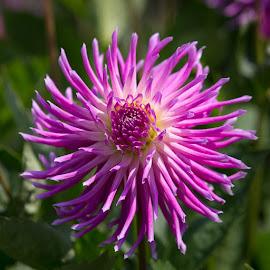 Still Purple by Janet Marsh - Flowers Single Flower ( dahlia, purple )