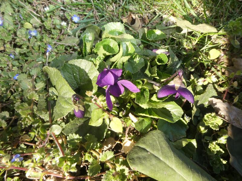 violette di quattrocchi