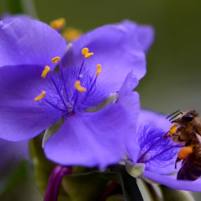 Buzzing Blue Spiderwort by Andrea Silies - Nature Up Close Other Natural Objects ( bee, blue spiderwort, insect, flower )