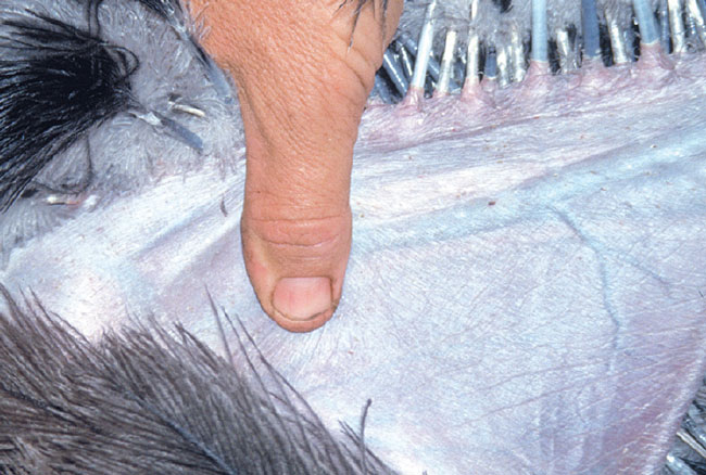 The basilic vein is suitable for blood collection only in the ostrich
