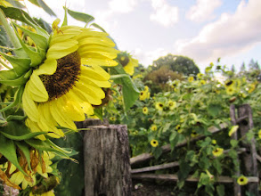 Photo: Sunflowers on old, wooden fences at sunset in Cox Arboretum and Gardens of Five River Metroparks in Dayton, Ohio.