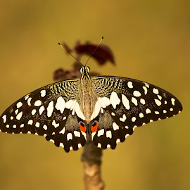 Beautiful Butterfly by Sankar Singha - Animals Insects & Spiders ( macro, close up, butterfly, insect, photography )
