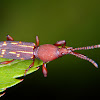 Straight snouted weevil