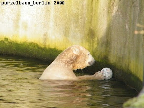 Photo: Alles in Ordnung - Knut widmet sich seinem Ball :-)
