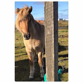by Bjarklind Þór - Animals Horses