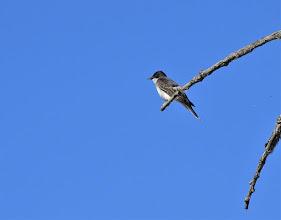 Photo: Eastern Kingbird