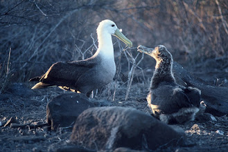 Photo: Albatros and chick at West end of Española, Galapagos Islands.