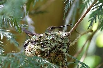 Photo: Female Rufous Hummingbird in her nest.