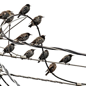 Birds on Wires by Russ Quinlan - Animals Birds ( pole, nature, wire, starlings, telephone, birds )