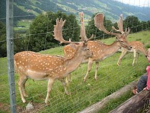 Photo: Damhirsche am Gasteiner Höhenweg