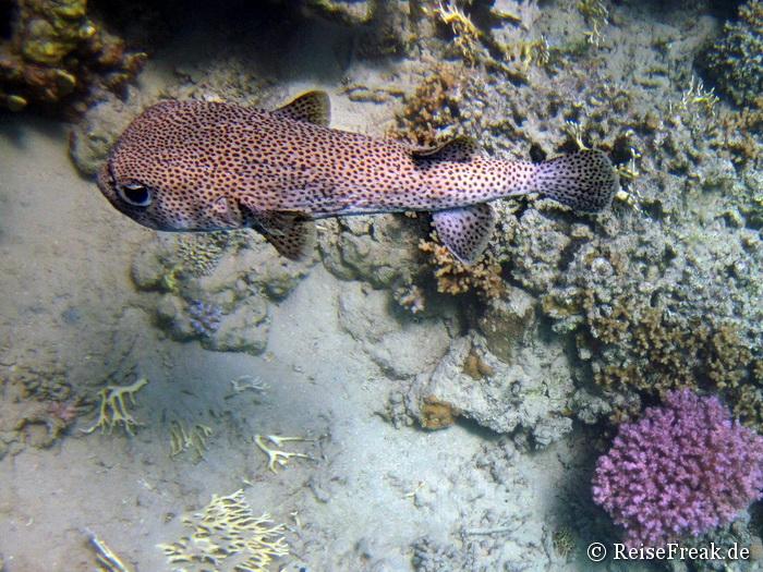 Ägypten 2015 - Gepunkteter Igelfisch (Diodon hystrix)