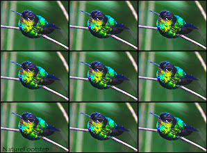 Photo: Fiery-throated Hummingbird mutiplied :)
