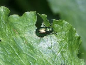 Photo: Dock Beetle