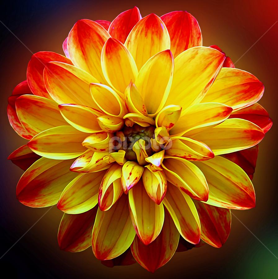 by Dipali S - Flowers Single Flower ( plant, bouquet, bright, beauty, vibrant, yellow, object, blossom, fragrant, nature, fresh, autumn, bunch, head, closeup, flower, petal, orange, decoration, elegance, beautiful, bloom, arrangement, red, season, color, elegant, background, summer, herbal, dahlia, garden, floral,  )