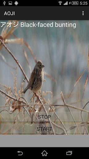 鳥の鳴き声アオジ