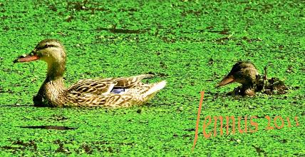 Photo: Teichenten und Wasserlinsen  Wachsames Weibchen der Stockente und ihr Kücken. Üppiges Wachstum von Wasserlinsengewächsen zeigt ein reiches bis übermäßiges Nährstoffangebot des Gewässers an. Dies ist durch Einträge aus der Landwirtschaft oft mit verursacht.