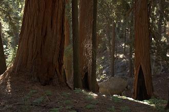 Photo: Sequoias