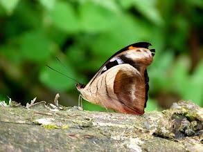 Photo: CLOUD-FOREST CATONE--catonephele chromis--TRACK TO SAN ISIDRO