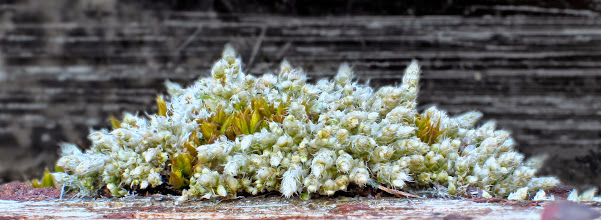 Photo: Bryum argentium against glass in shed window frame