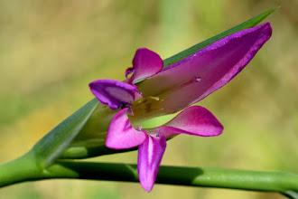 Photo: Gladiolus iralicus