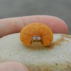 Ilia nucleus crab