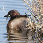 Little Grebe; Zampullin Chico